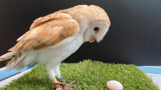 日本「雄性」貓頭鷹下蛋?原來搞錯性別