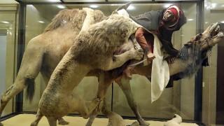 【熱話】藏有真人頭骨的模型——「獅子攻擊單峰駱駝」 闊別一年後重新展出