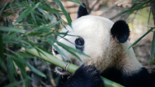 【中國植物】竹子的魅力:國寶大熊貓為什麼從肉食性動物轉為吃素?