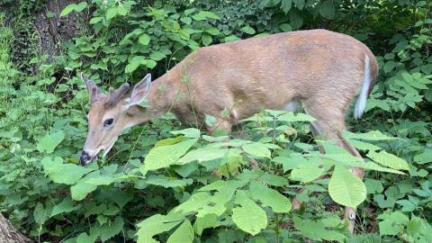 美國東北部1-3野生白尾鹿體內檢出抗體 專家憂病毒在動物種群間進化