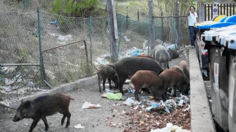 【有片】意大利羅馬現「野豬之亂」 或左右市長選情